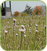 蓮華つつじと野芝を守る